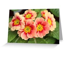 Beautiful Primroses Greeting Card