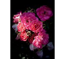 Tea Roses  Photographic Print