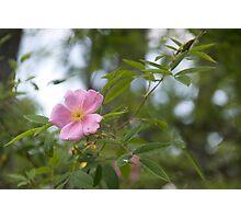 Wild Rose on Muddy Creek Photographic Print