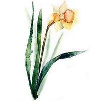 watercolor flower narcissus by OlgaBerlet