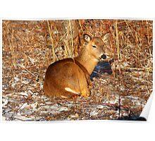 Resting Deer Poster