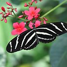 Zebra swallowtail butterfly resting on leaf color photo 1 by Jason Franklin