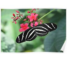 Zebra swallowtail butterfly resting on leaf color photo 1 Poster