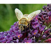 'Bee Fly on Buddlea' Photographic Print