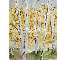 Birch grove in autumn Photographic Print