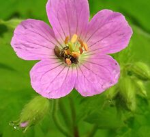 Pretty Wild Geranium by lorilee