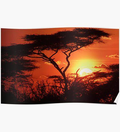 Acacia Sunset Poster