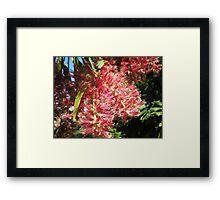 Melaleuca hypericifolia (Red Flowering Paperbark) Framed Print