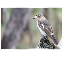 Pied Butcherbird - Juvenile Poster
