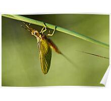 Ephemeroptera Mayfly Macro Poster