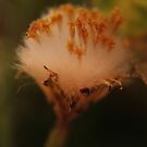Fluffy (from wild flowers collection) by Antanas