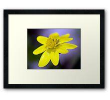 Yellow Celendines Framed Print
