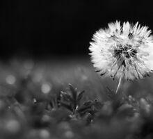 Dandy Dew in B&W by Tracy Friesen