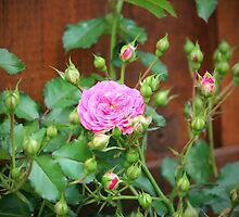 Pink Rose With Buds by Cynthia48