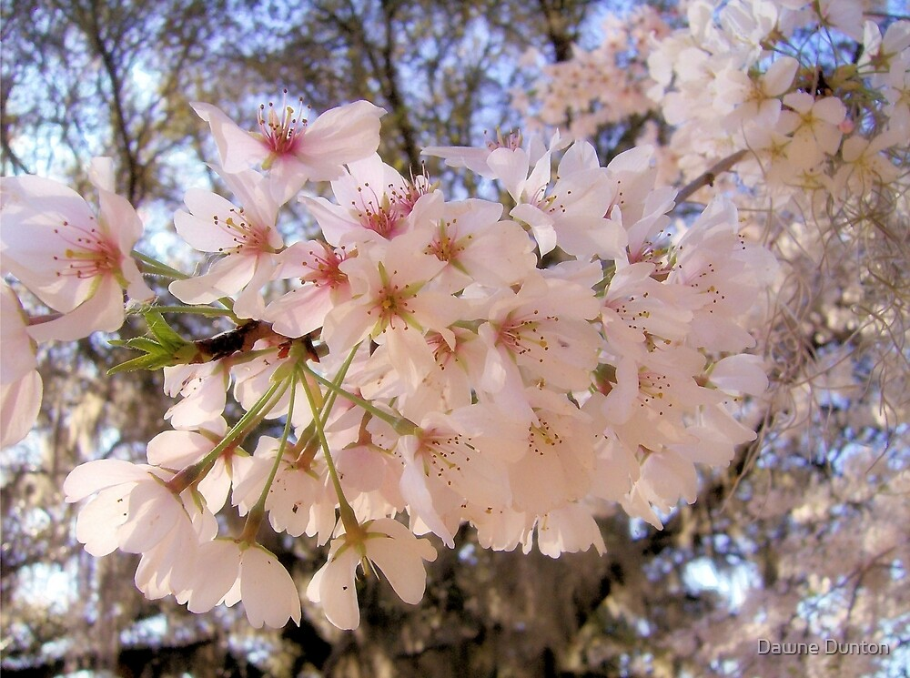 Cherry Blossoms by ©Dawne M. Dunton