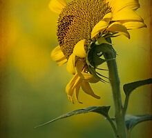 Sunflower in June by Bonnie T.  Barry