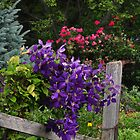 Climbing purple clematis by mltrue