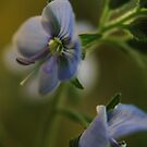 Twins (from wild flowers collection) by Antanas