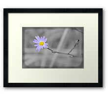 Late Purple Aster in Selective Color Framed Print