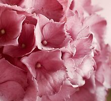 Pink hortensia by M J