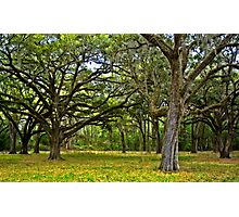 Southern Live Oaks Photographic Print
