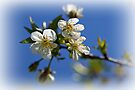 Cherry Blossoms in the Light by Sandy Keeton