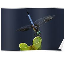 Blue Dasher Dragon Fly Poster