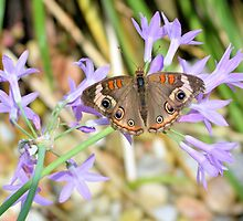 The Buckeye Butterfly by ©Dawne M. Dunton