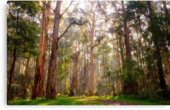 Light shining through the trees at Olinda Falls by Elana Bailey