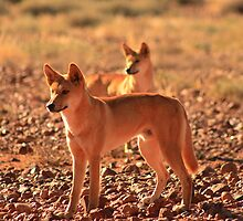 Dingo by Charlo