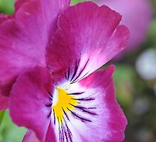Pretty Purple Pansy by chijude