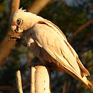 Corella 1 by Caroline Scott
