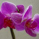 Phalaenopsis by Luís Lajas