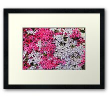 Pink and White Carpet Phlox Flowers Framed Print