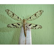 Lacewing Photographic Print