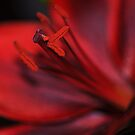 Red Passion by Rosy Kueng Photography
