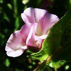 Pink Flowers by Mirafaye