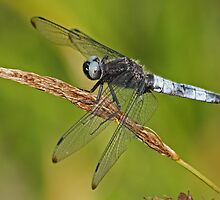 Male Scarce Chaser by Robert Abraham