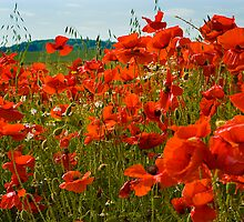 Poppies by Trevor Patterson