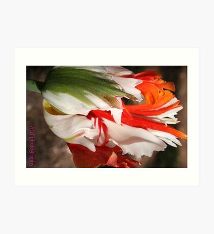 ragged tulip Art Print