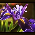 Iris by Selina Tour