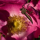 The Bug and the Rose by David Friederich