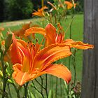 Easter Lilly by Gibbsy