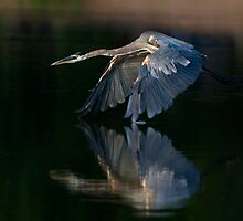 062409 Great Blue Heron by Marvin Collins
