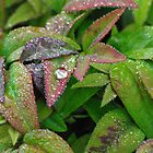 dew drops by feeee