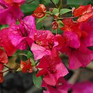 bouganvillea by feeee