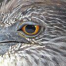 Immature Yellow Crowned Night Heron by enyaw