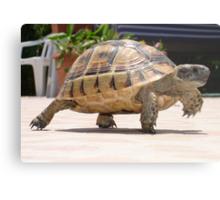 Baby Tortoise ....Hup two three four..... Metal Print