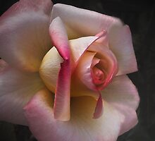 Soft Rose . . . by Rosalie Dale