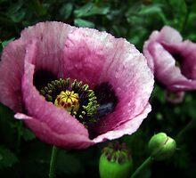 Two Poppies by yolanda